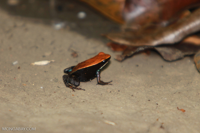 Brown Mantella (Mantella betsileo) [madagascar_4624]
