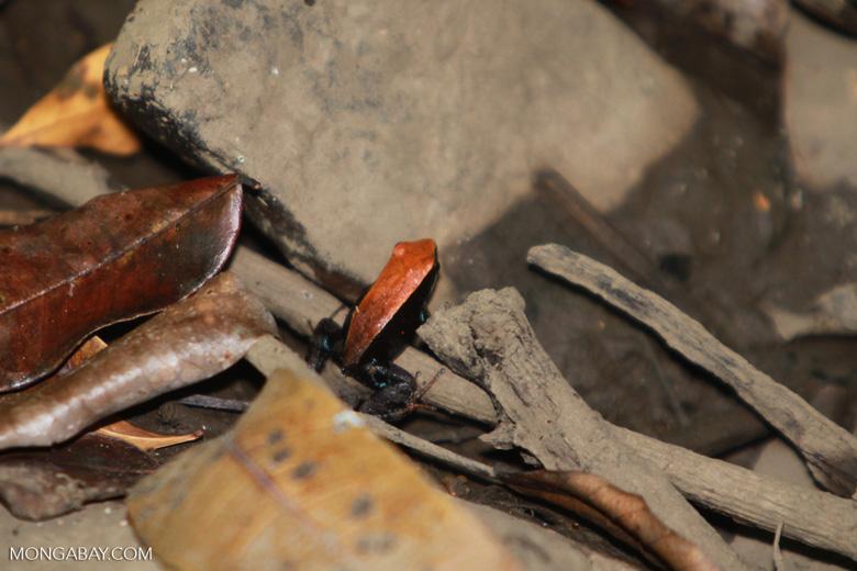 Brown Mantella (Mantella betsileo) [madagascar_4625]