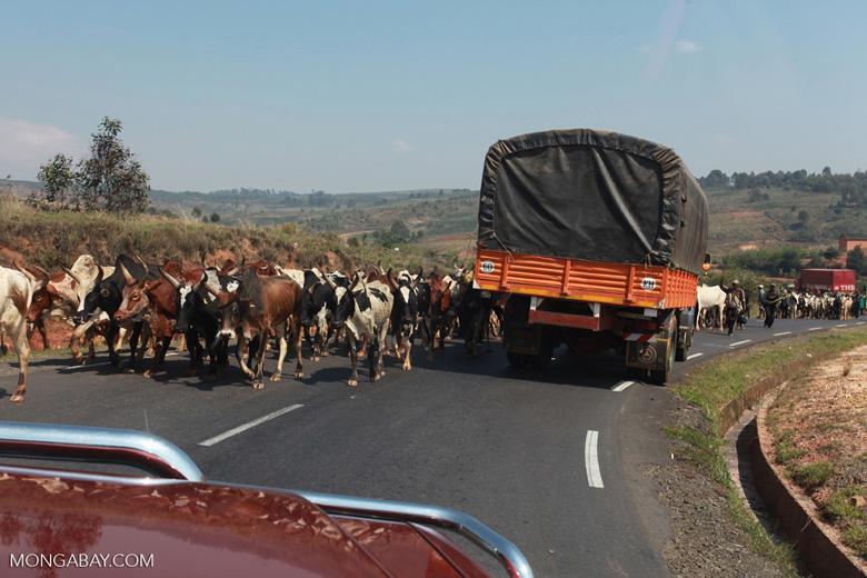 Zebu cattle blocking the road [madagascar_4636]