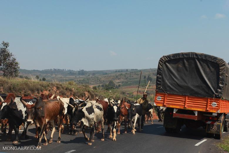 Zebu cattle blocking the road [madagascar_4637]