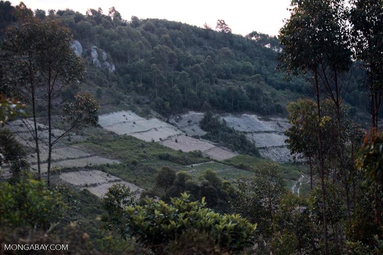 Eucalyptus plantation in Madagascar. Image by Rhett Butler/Mongabay.