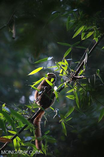 Golden Bamboo Lemur (Hapalemur aureus) eating bamboo [madagascar_4849]