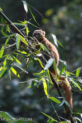 Golden Bamboo Lemur (Hapalemur aureus) eating bamboo [madagascar_4855]