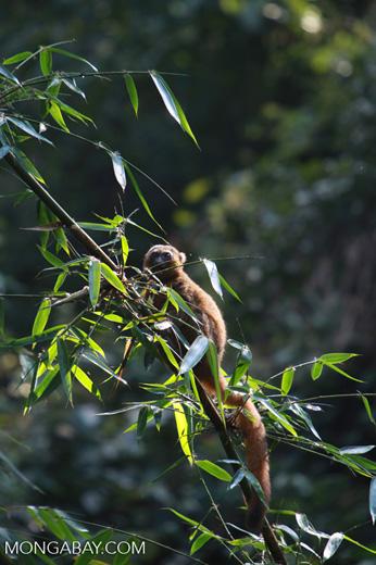 Golden Bamboo Lemur (Hapalemur aureus) eating bamboo [madagascar_4856]