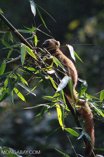 Golden Bamboo Lemur (Hapalemur aureus) [madagascar_4860]