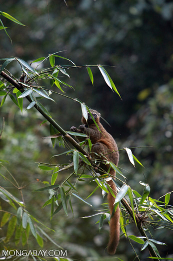 Golden Bamboo Lemur (Hapalemur aureus) [madagascar_4868]