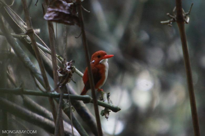 Madagascar Pygmy-kingfisher (Ceyx madagascariensis) [madagascar_4889]