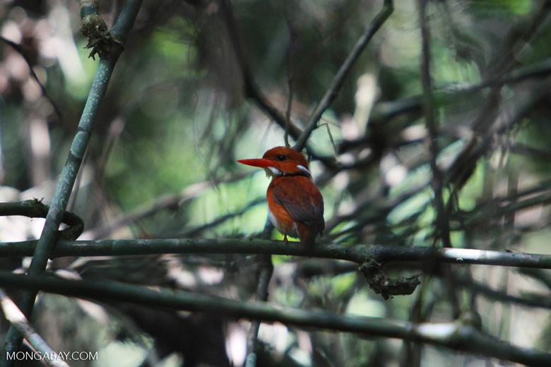 Madagascar Pygmy-kingfisher (Ceyx madagascariensis) [madagascar_4900]