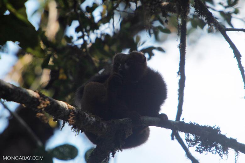 Male Red-bellied Lemur (Eulemur rubriventer) [madagascar_4947]
