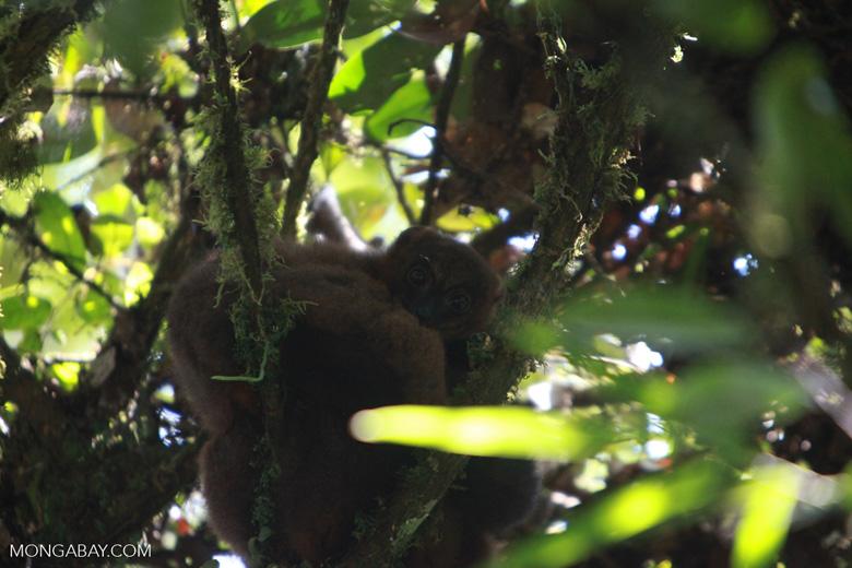 Female Red-bellied Lemur (Eulemur rubriventer) [madagascar_4962]