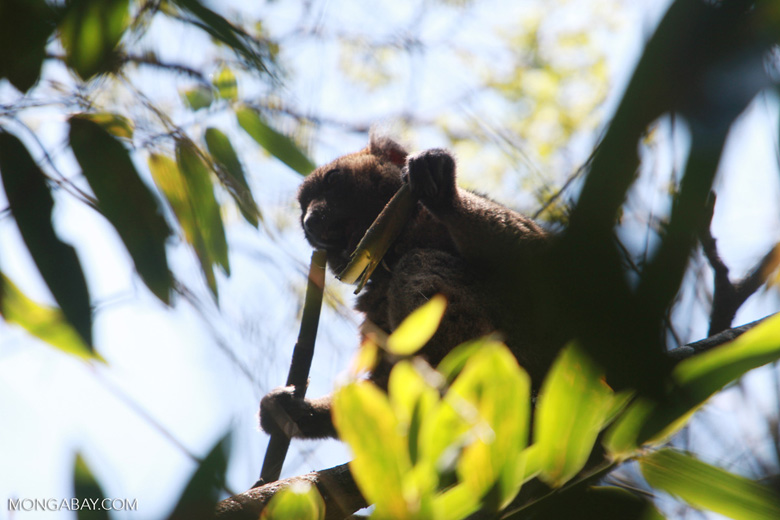 Greater Bamboo Lemur (Prolemur simus), one of the world's rarest lemurs, eating bamboo [madagascar_5014]