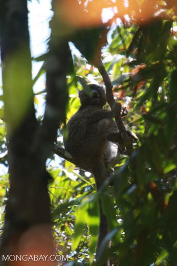 Greater Bamboo Lemur (Prolemur simus), one of the world's rarest lemurs, eating bamboo [madagascar_5016]