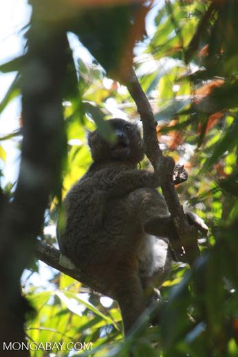 Greater Bamboo Lemur (Prolemur simus), one of the world's rarest lemurs, eating bamboo [madagascar_5017]