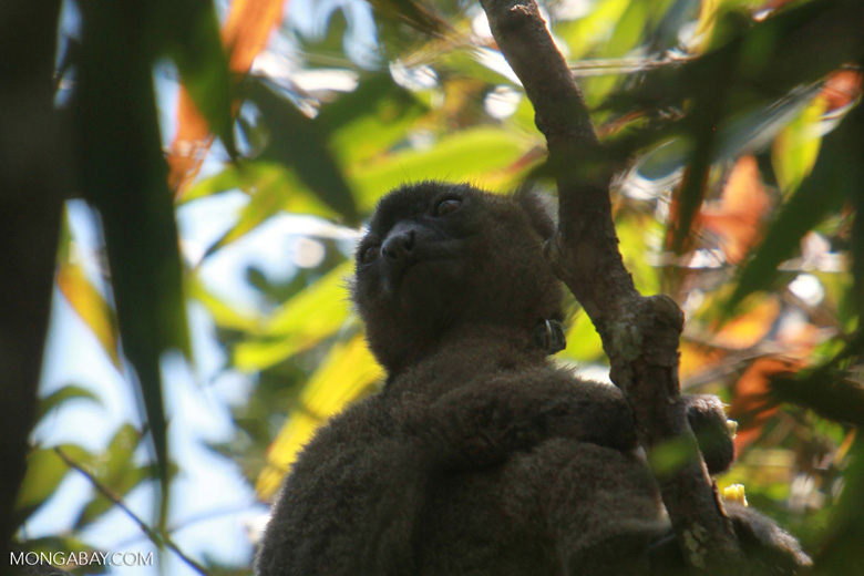 Greater Bamboo Lemur (Prolemur simus) [madagascar_5022]
