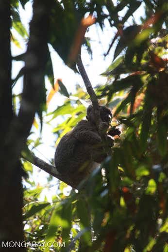 Greater Bamboo Lemur (Prolemur simus) eating bamboo