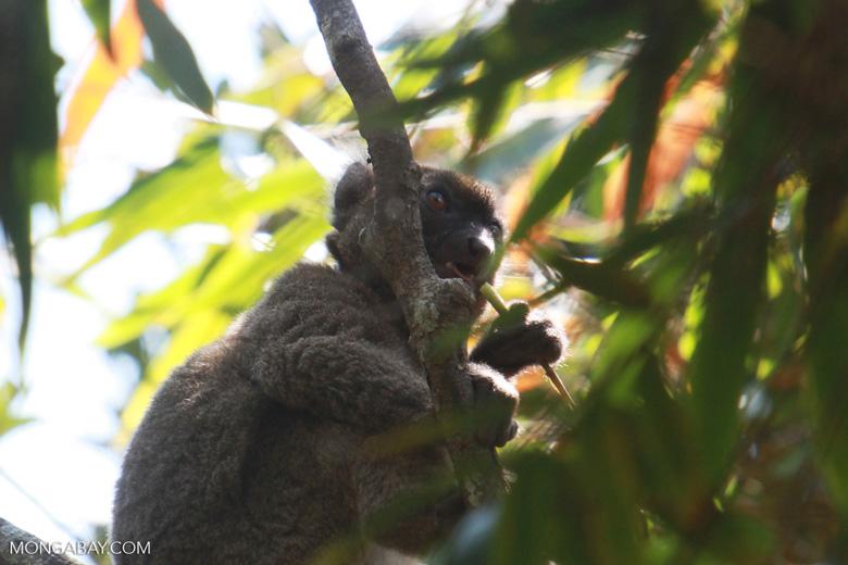 Greater Bamboo Lemur (Prolemur simus) eating bamboo [madagascar_5024]