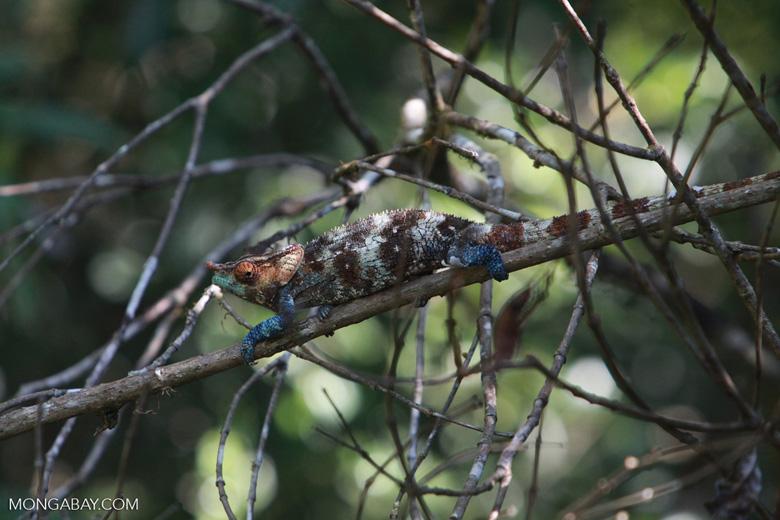 Stunning male Calumma crypticum chameleon [blue, green, orange, white, and brown]
