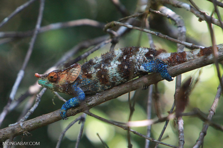 Blue, green, orange, white, and brown Calumma crypticum chameleon [male] [madagascar_5043]