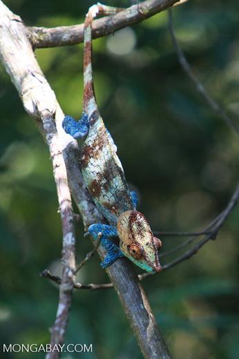 Blue, orange, and green Calumma crypticum chameleon [male] [madagascar_5055]