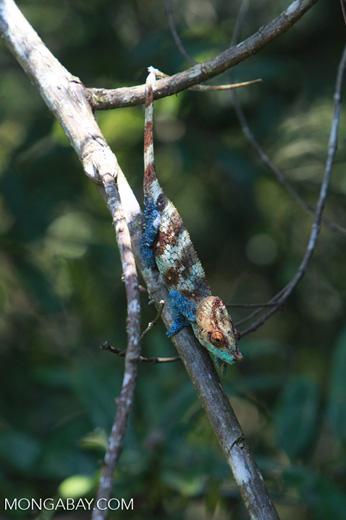 Blue, orange, and green Calumma crypticum chameleon [male] [madagascar_5059]
