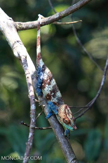 Blue, orange, and green Calumma crypticum chameleon [male] [madagascar_5060]