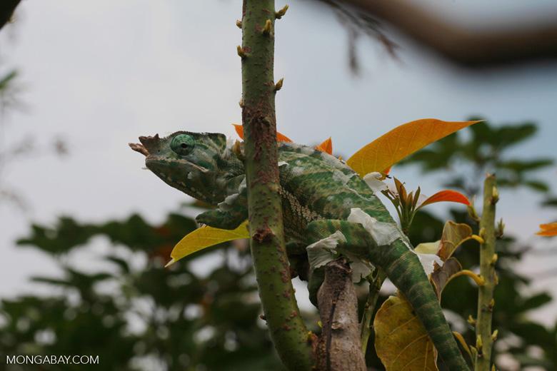 Rainforest Chameleon (Furcifer balteatus) [male] [madagascar_5082]