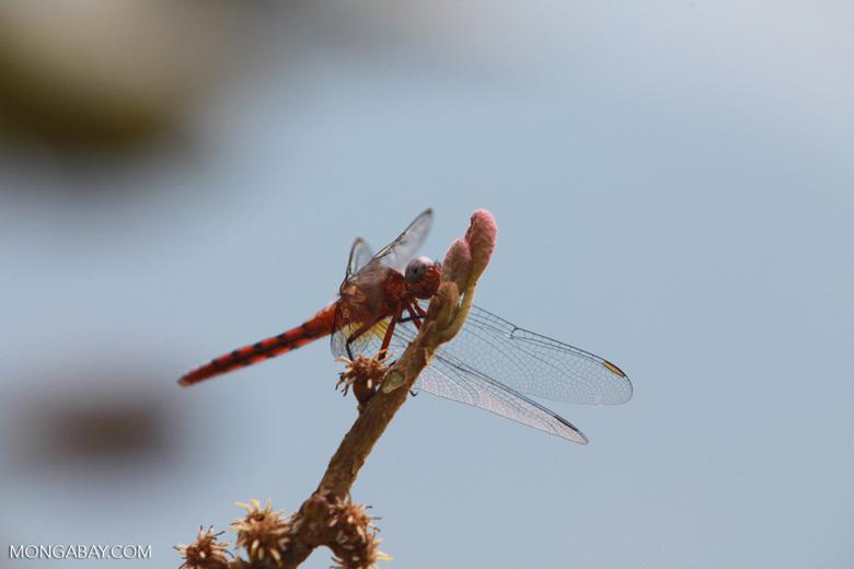 Blue-eyed dragonfly [madagascar_5088]