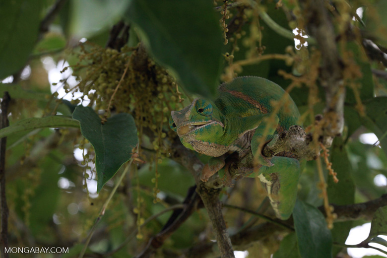 Female Rainforest Chameleon (Furcifer balteatus) preparing her tongue to grab an insect
