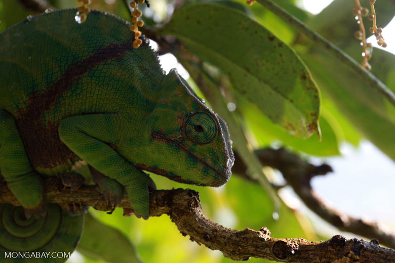 Female Furcifer balteatus chameleon [madagascar_5130]