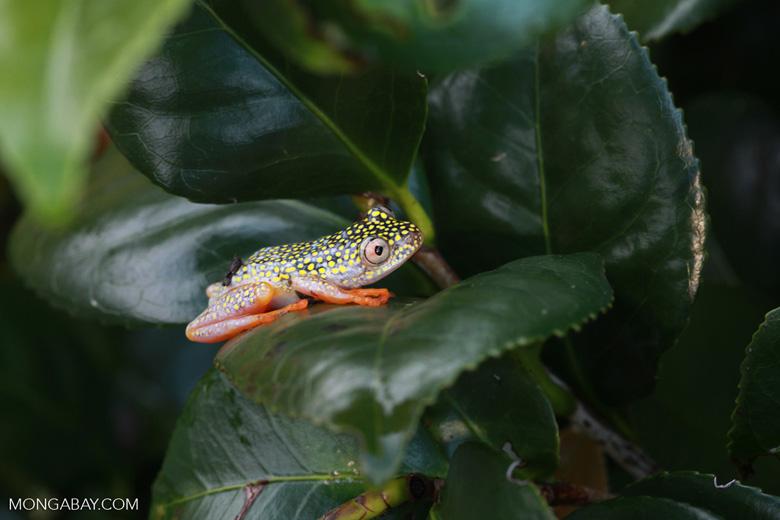 White Spotted Reed Frog (Heterixalus alboguttatus) [madagascar_5138]