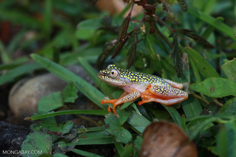White Spotted Reed Frog (Heterixalus alboguttatus) [madagascar_5148]