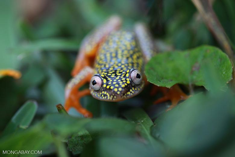 White Spotted Reed Frog (Heterixalus alboguttatus) [madagascar_5163]
