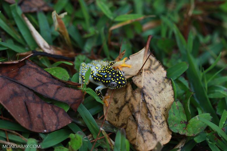 White Spotted Reed Frog (Heterixalus alboguttatus) [madagascar_5177]