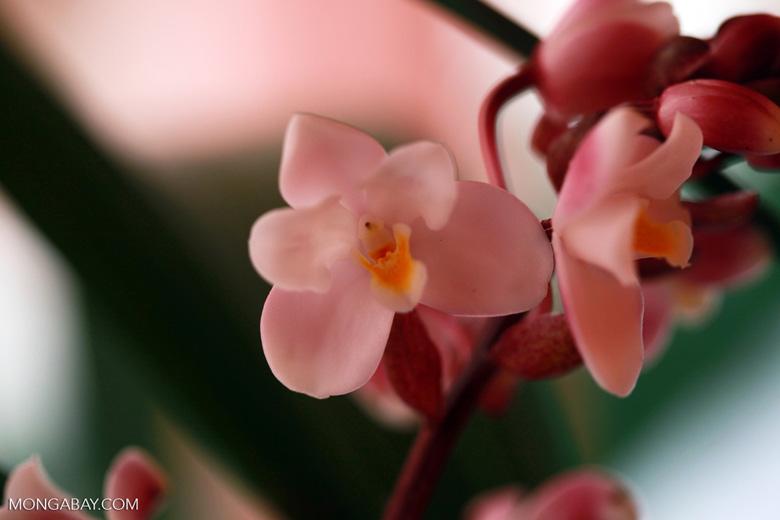 Pink orchid (Eulophiella elisabethae), endemic to Madagascar