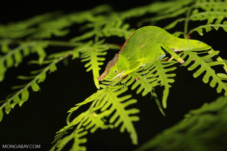 Canopy Chameleon (Furcifer willsii)