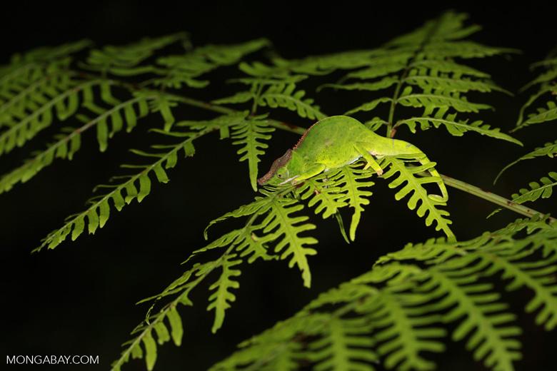 Willsi Chameleon (Furcifer willsii)