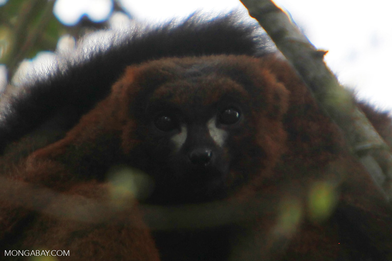 Male Red-bellied Lemur [madagascar_5252]