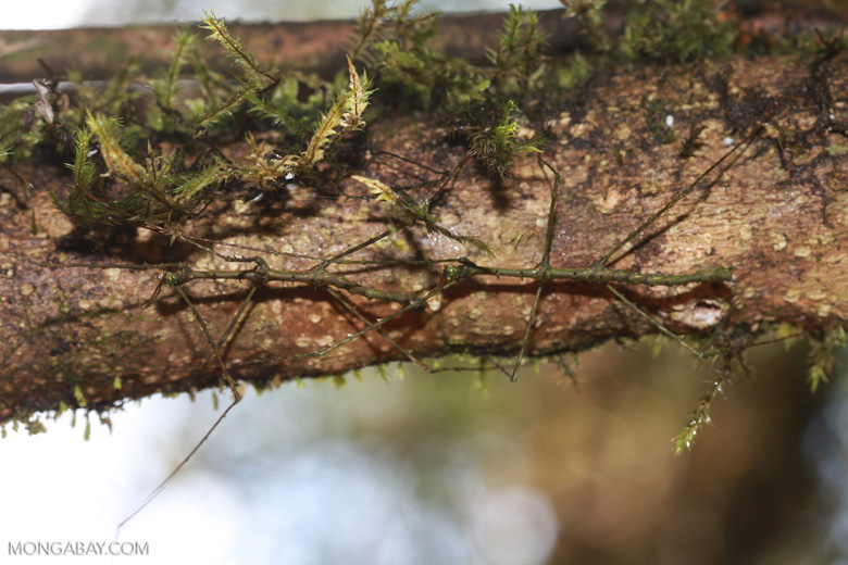 Mossy stick insects [madagascar_5310]