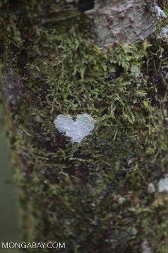 Heart-shaped lichen [madagascar_5336]