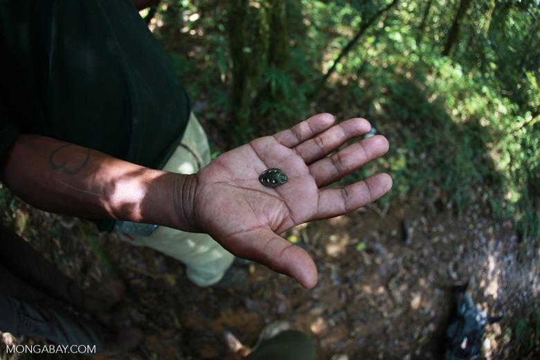 Polybothris Jewel beetle (family Buprestidae) [madagascar_5350]