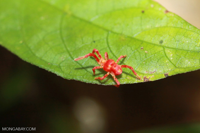 Pink and orange spider-looking mite (Acari)