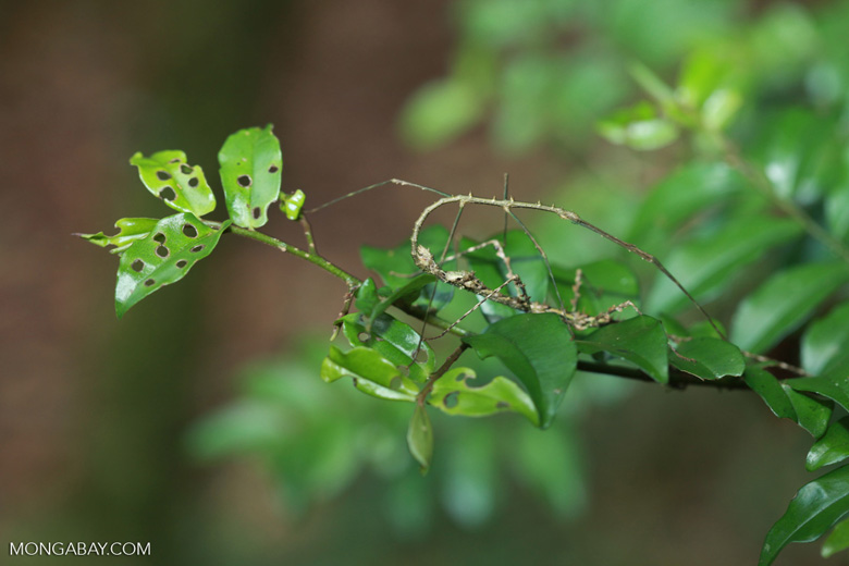 Stick insects mating [madagascar_5413]