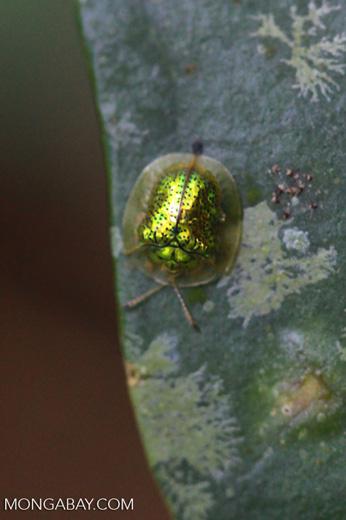 Brilliant green beetle [Tortoise beetle of the Chrysomelidae family] [madagascar_5455]