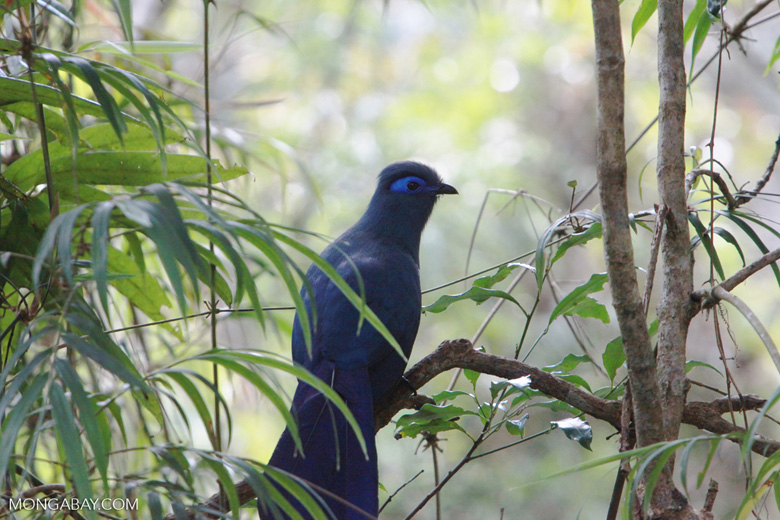 Banner image: A blue coua (Coua caerulea) in Ranomafana National Park, about 30 miles west of Vohilava. Image by Rhett A. Butler.