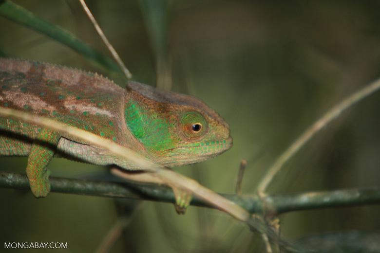 O'Shaughnessy's Chameleon (Calumma oshaughnessyi) [madagascar_5521]
