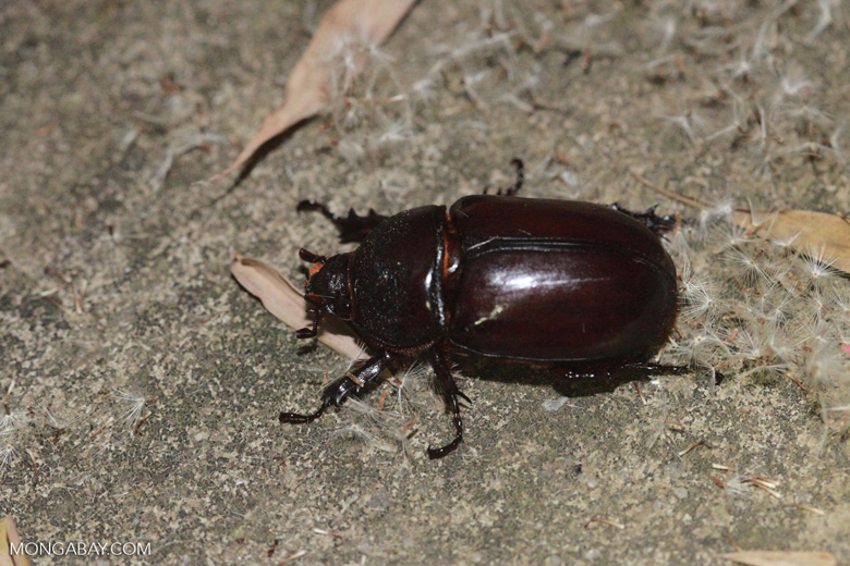 Madagascar Scarab, family Scarabaeidae