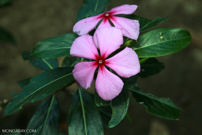 Rosy periwinkle (Catharanthus roseus), the source of vinblastine and vincristine, compounds used to treat Hodgkin's disease