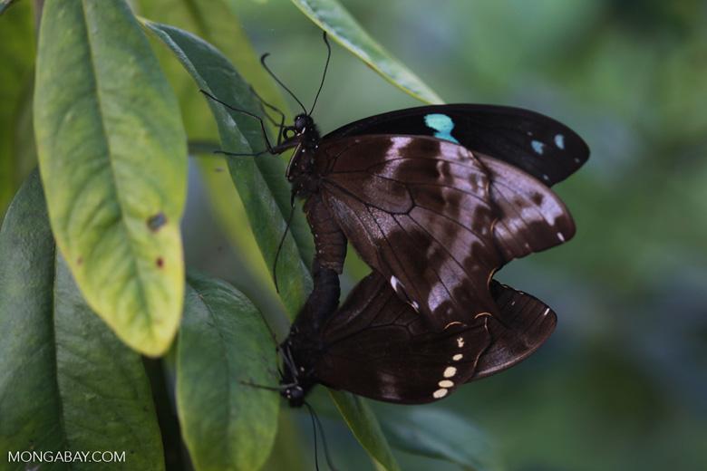 Mating butterflies [madagascar_5562]