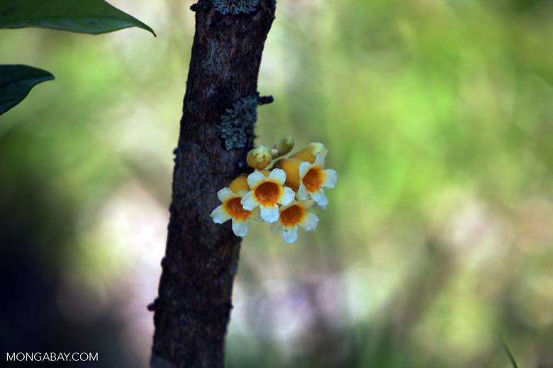 Yellow and white flowers of Ophiocolea floribunda [madagascar_5599]