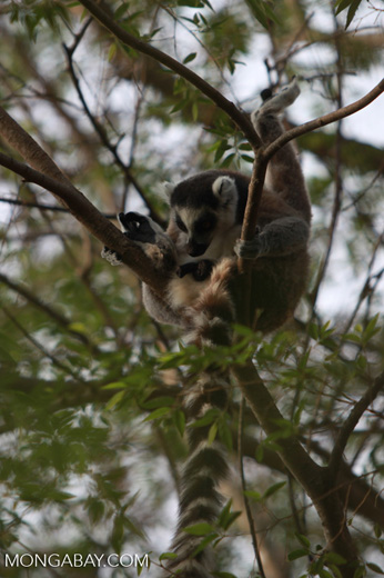 Ring-tail lemur licking its penis [madagascar_5702]